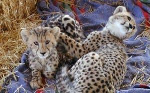Sisters Modjadji and Graca, our 2003 De Wildt cubs